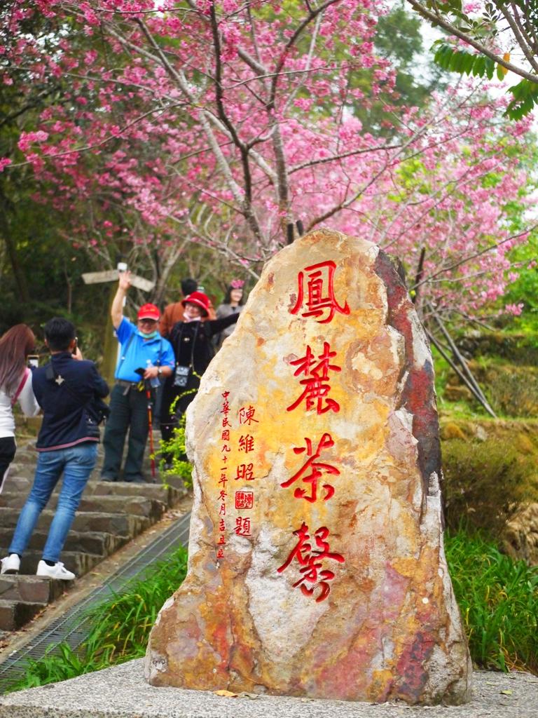 最美河津櫻天梯入口 | 網美景點 | 超美櫻花秘境 | 南投鳳凰自然教育園區 | 鹿谷 | 南投 | 巡日旅行攝