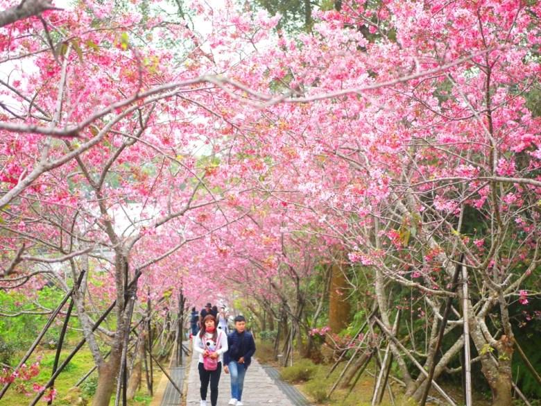 鳥瞰絕美河津櫻天梯 | 臺灣旅人 | 滿滿的櫻花天空 | 賞櫻秘境 | 南投鳳凰自然教育園區 | 鹿谷 | 南投 | 巡日旅行攝