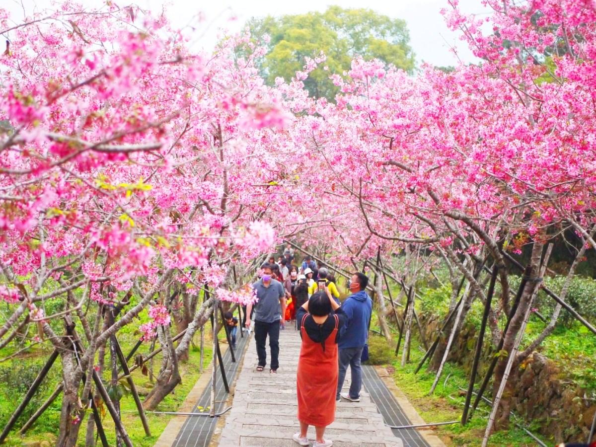 俯瞰河津櫻天梯 | 滿是櫻花海 | 賞櫻的臺灣旅人 | 日本味 | 南投鳳凰自然教育園區 | ルーグー | Lugu | Nantou | RoundtripJp
