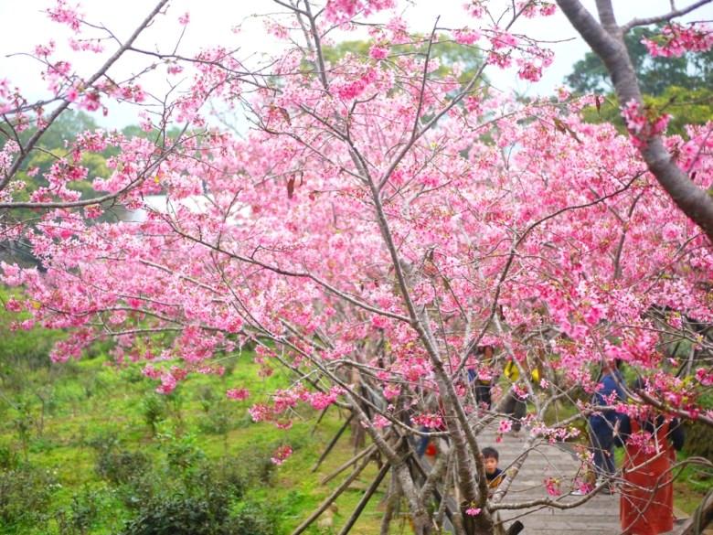 不間斷的櫻花秘境 | 連續的櫻花並木 | 日本味 | 南投鳳凰自然教育園區 | ルーグー | Lugu | Nantou | RoundtripJp