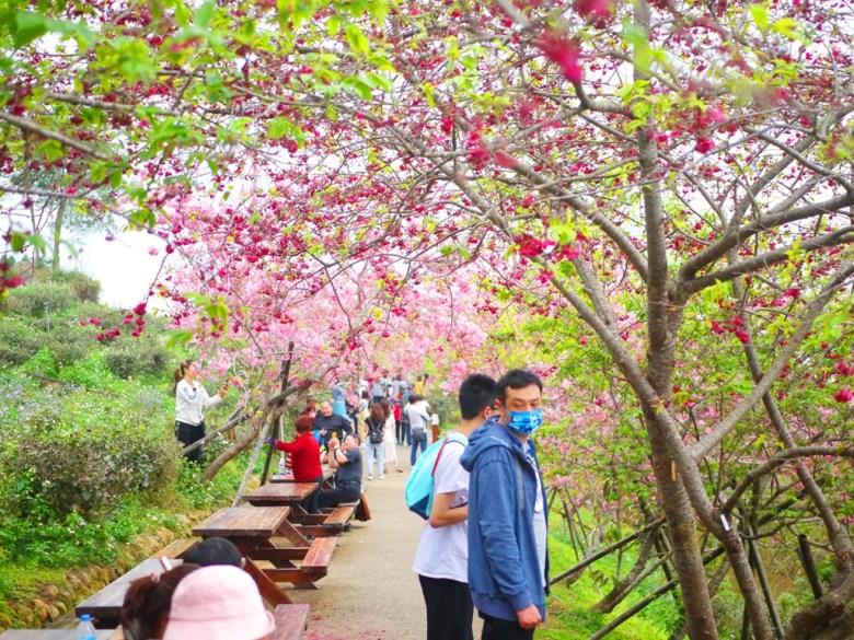 沿途的橫向櫻花步道 | 休息區 | 臺灣旅人 | 日本味 | 南投鳳凰自然教育園區 | 鹿谷 | 南投 | 巡日旅行攝