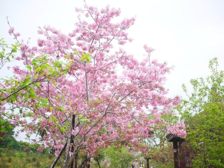 盛開的河津櫻 | 粉嫩粉紅 | 粉粉嫩嫩 | 臺灣旅人 | 南投鳳凰自然教育園區 | ルーグー | Lugu | Nantou | RoundtripJp