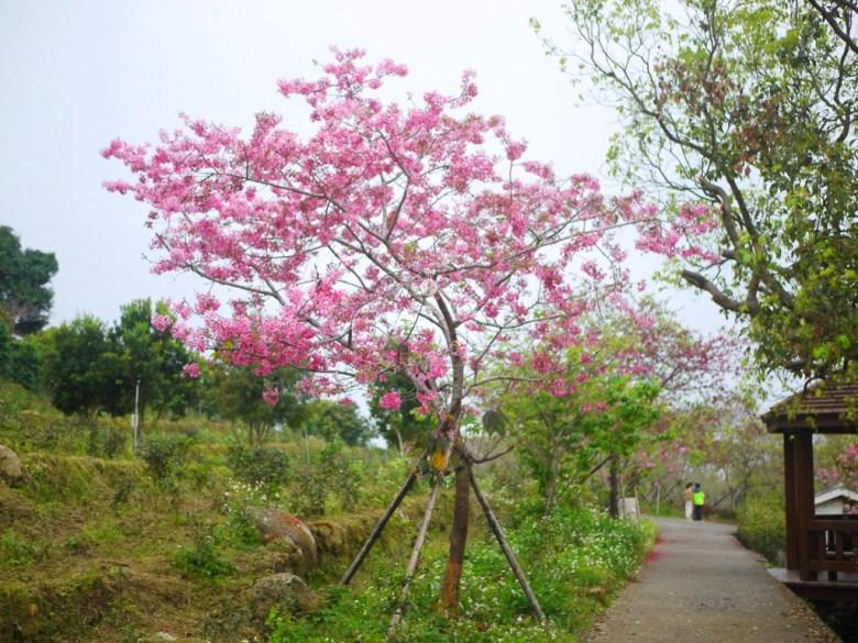 橫向的櫻花步道 | 觀景迴廊 | 南投鳳凰自然教育園區 | ルーグー | Lugu | Nantou | RoundtripJp