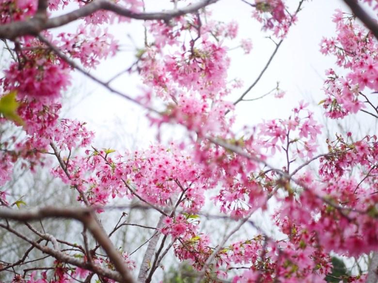盛開飽滿 | 粉紅少女系 | 日本味 | 南投鳳凰自然教育園區 | 鹿谷 | 南投 | 巡日旅行攝