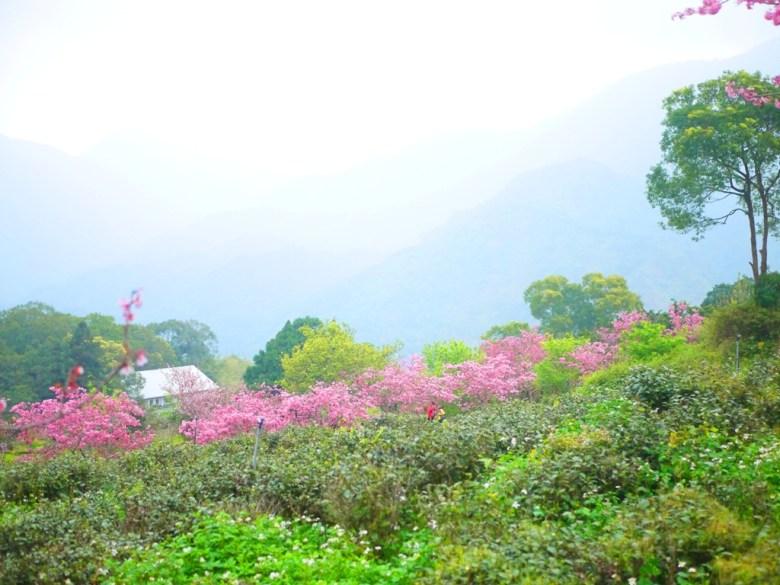 萬綠群山一抹粉 | 河津櫻步道 | 日本味 | 南投鳳凰自然教育園區 | 鹿谷 | 南投 | 巡日旅行攝