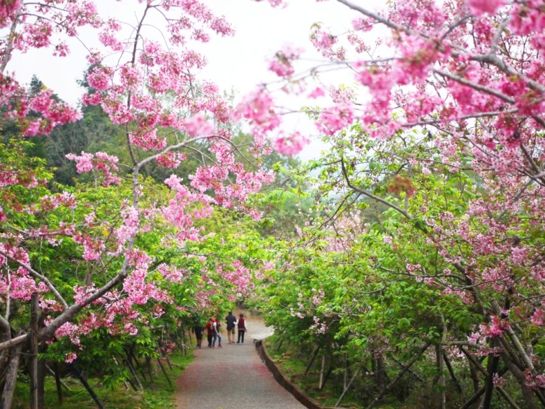 靠近住宿停車場的櫻花步道 | 臺灣旅人 | 日本味 | 南投鳳凰自然教育園區 | 鹿谷 | 南投 | 巡日旅行攝