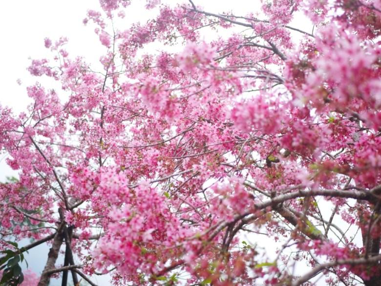 大滿開的河津櫻 | 粉紅色天空 | 鋪天蓋地的櫻花雲海 | 南投鳳凰自然教育園區 | ルーグー | Lugu | Nantou | RoundtripJp
