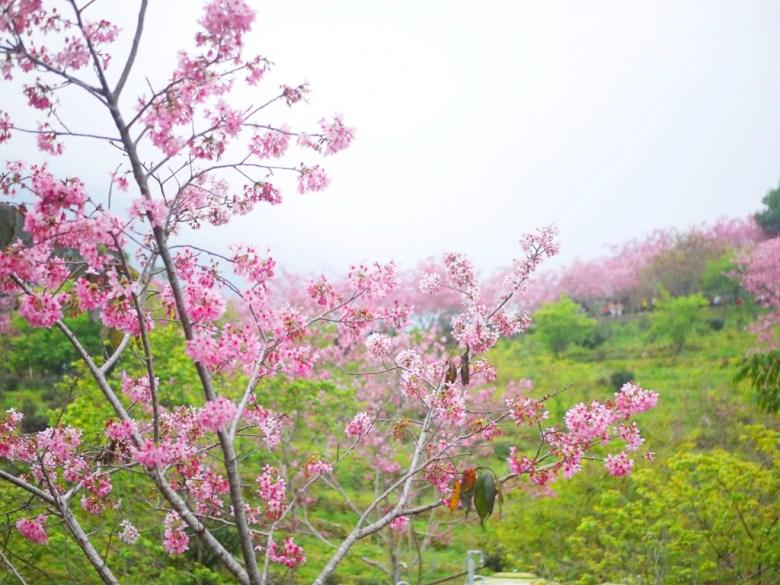 仰望櫻花園區之美 | 和風景點 | 濃濃日本風情 | 南投鳳凰自然教育園區 | ルーグー | Lugu | Nantou | RoundtripJp