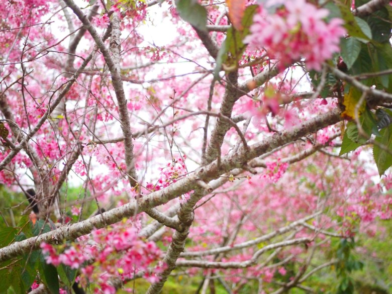 與櫻花的距離 | 櫻花 | 南投鳳凰自然教育園區 | 鹿谷 | 南投 | 巡日旅行攝