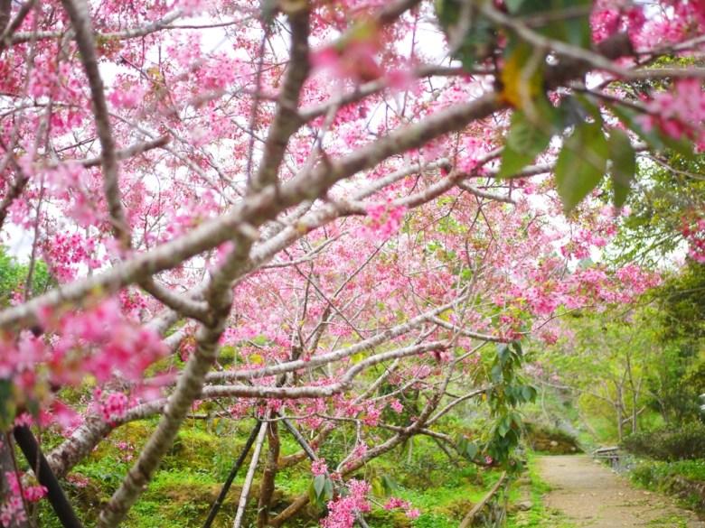 櫻花步道 | 自然景觀步道 | 南投鳳凰自然教育園區 | ルーグー | Lugu | Nantou | RoundtripJp
