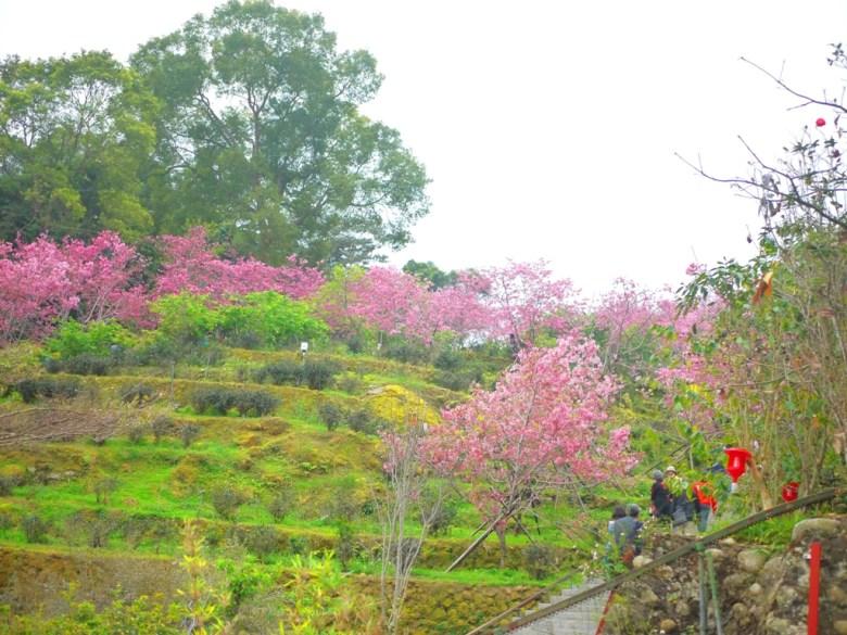 仰望櫻花園區 | 靠近住宿停車場的櫻花步道 | 南投鳳凰自然教育園區 | ルーグー | Lugu | Nantou | RoundtripJp