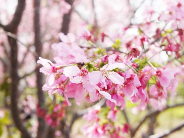 粉紅粉嫩 | 網美景點 | 絕美富士櫻 | 富士櫻の櫻花秘境 | 新社 | 台中 | 巡日旅行攝
