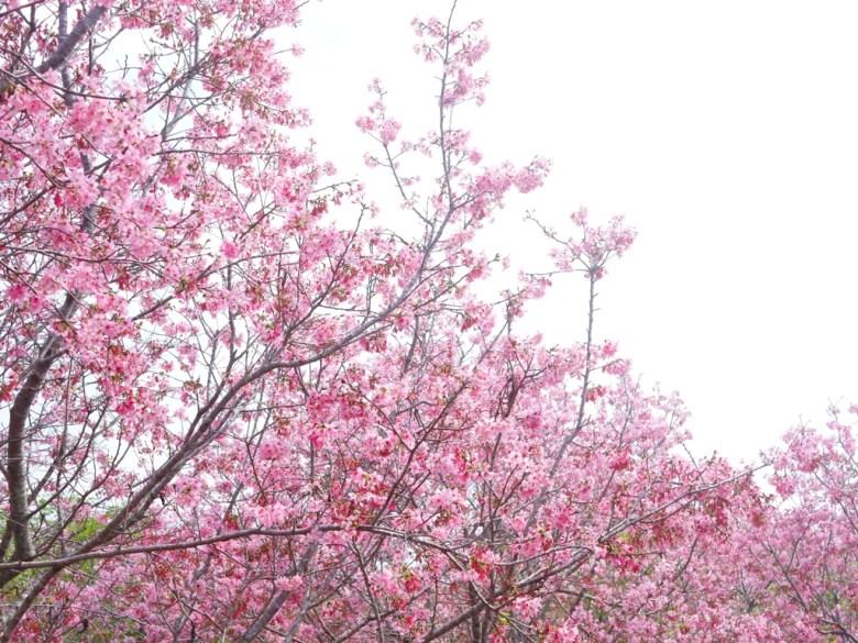 滿開的富士櫻櫻花 | 美不勝收 | 日本風情 | 日本味 | しんしゃ | Xinshe | Taichung | RoundtripJp