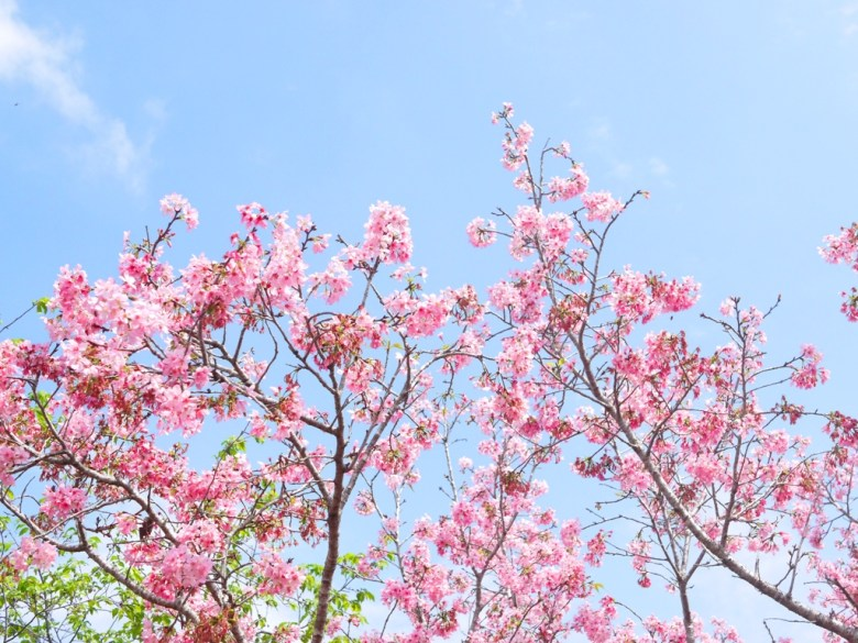 櫻花紛飛 | 天很藍花很美 | 富士櫻 | 富士櫻の櫻花秘境 | 新社 | 台中 | 巡日旅行攝