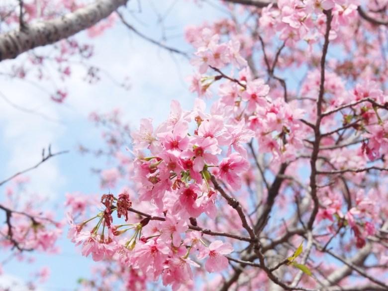 藍天與櫻 | 自然的美 | 櫻花之美 | 網美景點 | 富士櫻の櫻花秘境 | 新社 | 台中 | RoundtripJp