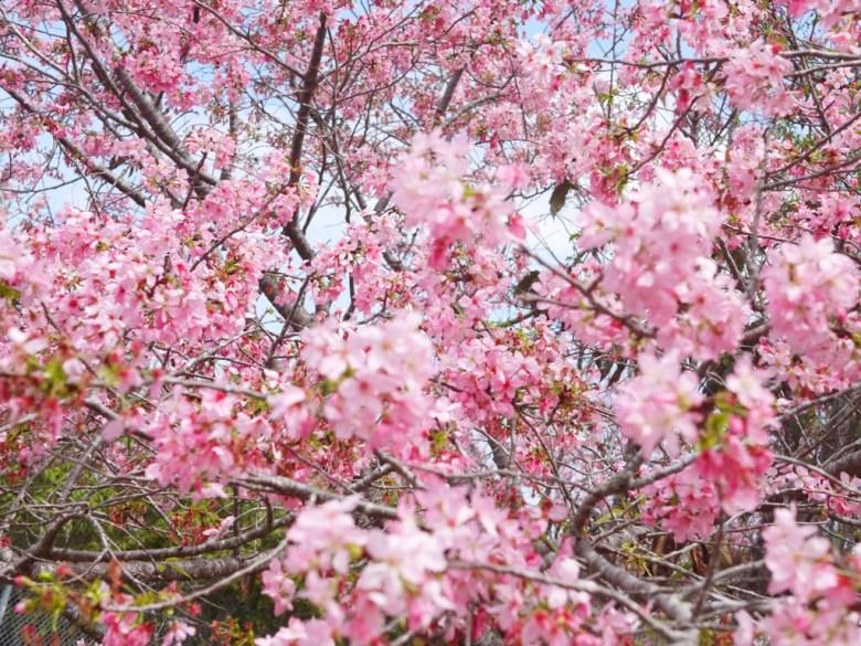 滿滿的富士櫻 | 被富士櫻包圍 | 網美景點 | 富士櫻の櫻花秘境 | 新社 | 台中 | 巡日旅行攝