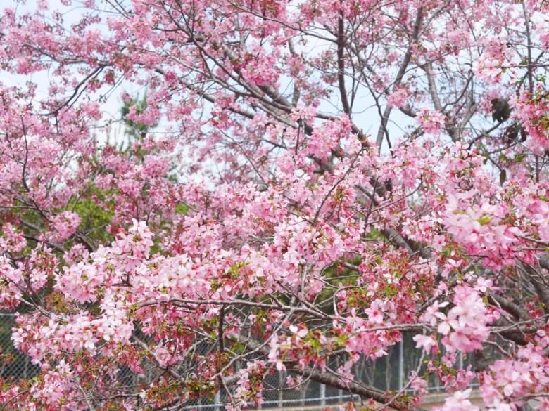 美麗富士櫻 | 小豆櫻 | Sakura | さくら | サクラ | 富士櫻の櫻花秘境 | 新社 | 台中 | RoundtripJp