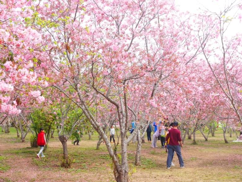 滿是富士櫻的秘境 | 臺灣旅人 | 賞花民眾 | 網美景點 | 富士櫻の櫻花秘境 | 新社 | 台中 | 巡日旅行攝