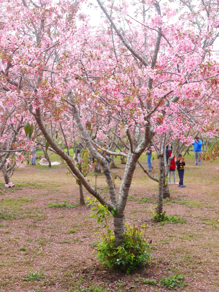 綿延不絕的櫻花秘境 | 網美景點 | 富士櫻の櫻花秘境 | 新社 | 台中 | 巡日旅行攝