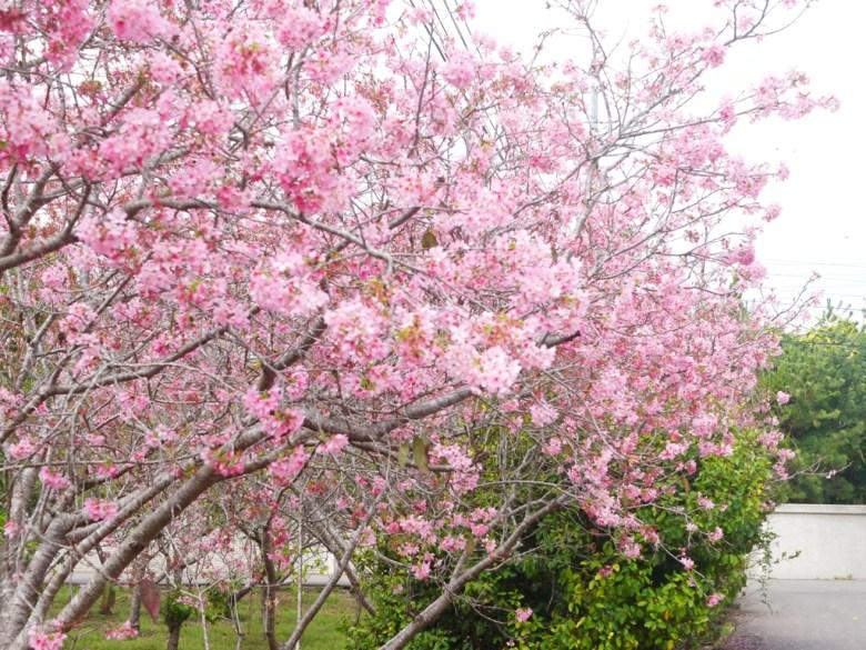 櫻花秘境後方小巷 | 富士櫻の櫻花秘境 | しんしゃ | Xinshe | Taichung | RoundtripJp