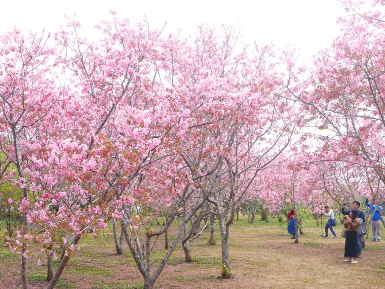 滿是賞櫻拍照的臺灣旅人 | 認真構圖 | 和風景點 | 富士櫻の櫻花秘境 | しんしゃ | Xinshe | Taichung | RoundtripJp