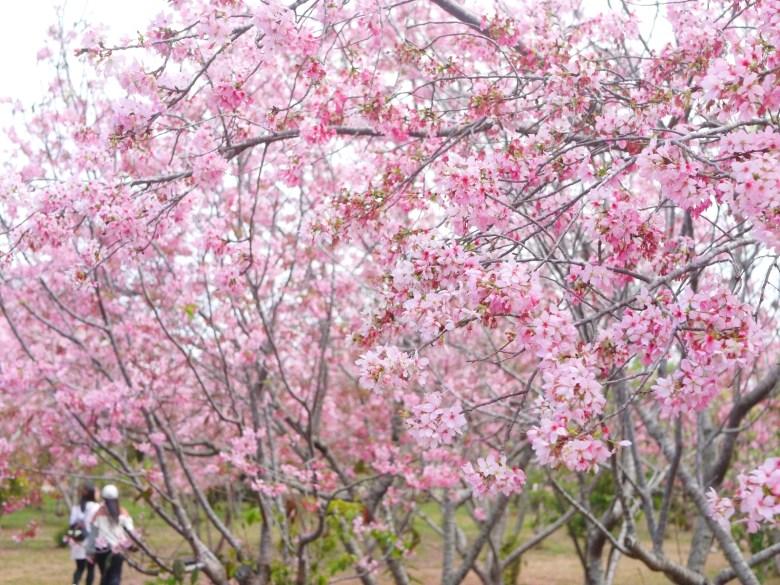 賞櫻少女 | 臺灣旅人 | 前景後景滿滿富士櫻 | 富士櫻の櫻花秘境 | 新社 | 台中 | 巡日旅行攝