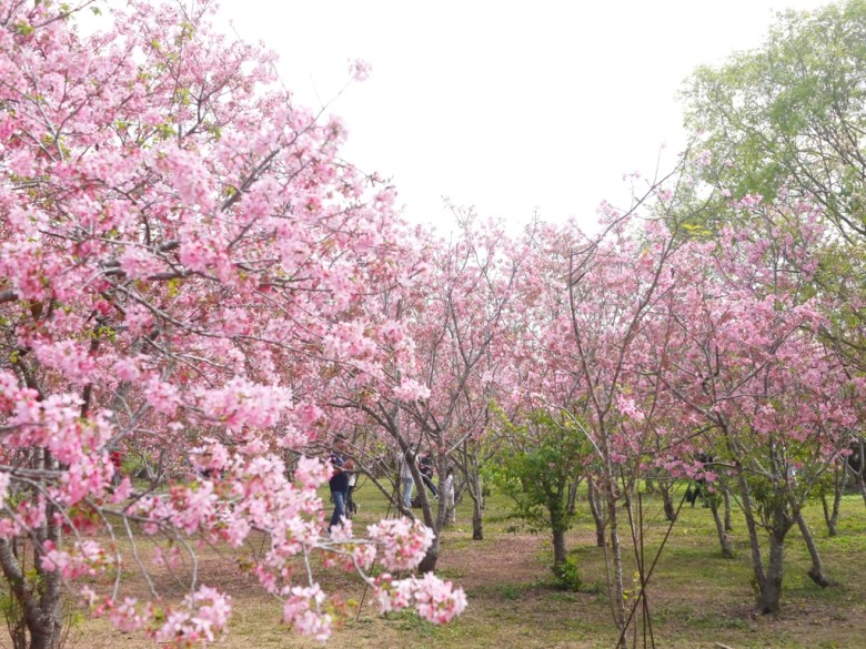 棋盤式的櫻花秘境 | 日本風情 | 和風景色 | 富士櫻の櫻花秘境 | しんしゃ | Xinshe | Taichung | RoundtripJp