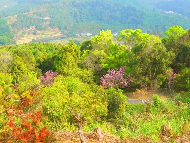 俯瞰金龍山 | 金龍山車道 | 櫻花 | 吉野櫻 | 大自然森呼吸 | 魚池 | 南投 | 和風臺灣 | 巡日旅行攝