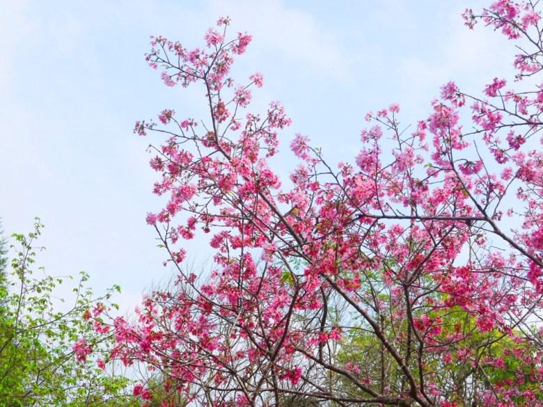 粉嫩的櫻花 | 吉野櫻 | 綠色自然 | 日本風情 | 金龍山觀景臺 | 魚池 | 南投 | ユーチー | Yuchi | Nantou | RoundtripJp