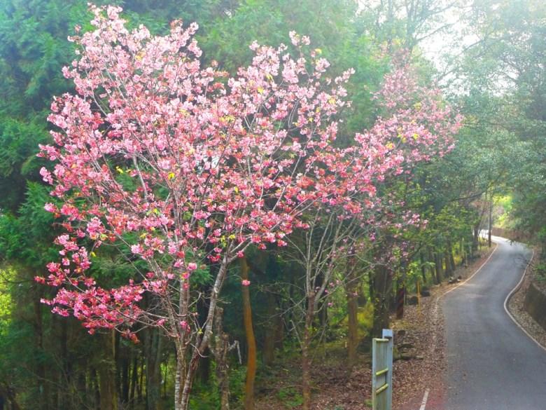 沿途的櫻花 | 吉野櫻 | 日本風情 | 金龍山觀景臺 | 魚池 | 南投 | ユーチー | Yuchi | Nantou | RoundtripJp