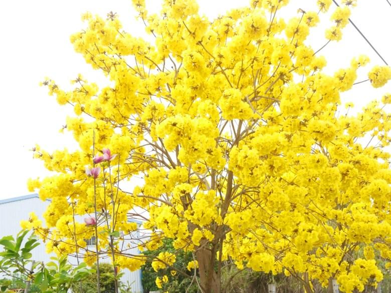 139縣道滿開的黃金風鈴木 | 黃花風鈴木 | 大滿開 | 139縣道 | 盛開 | Fenyuan | Changhua | RoundtripJp