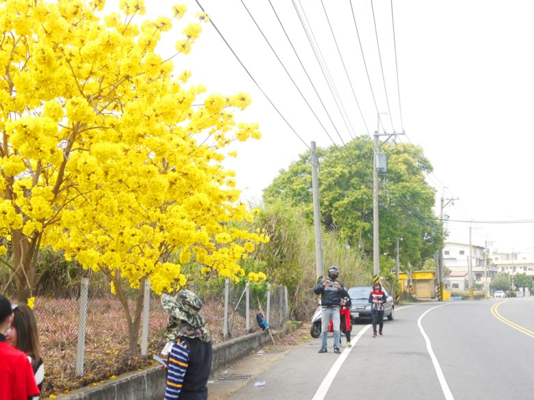 大滿開的黃花風鈴木 | 吸引無數的臺灣旅人駐足拍照 | 139縣道 | 盛開 | Fenyuan | Changhua | 巡日旅行攝