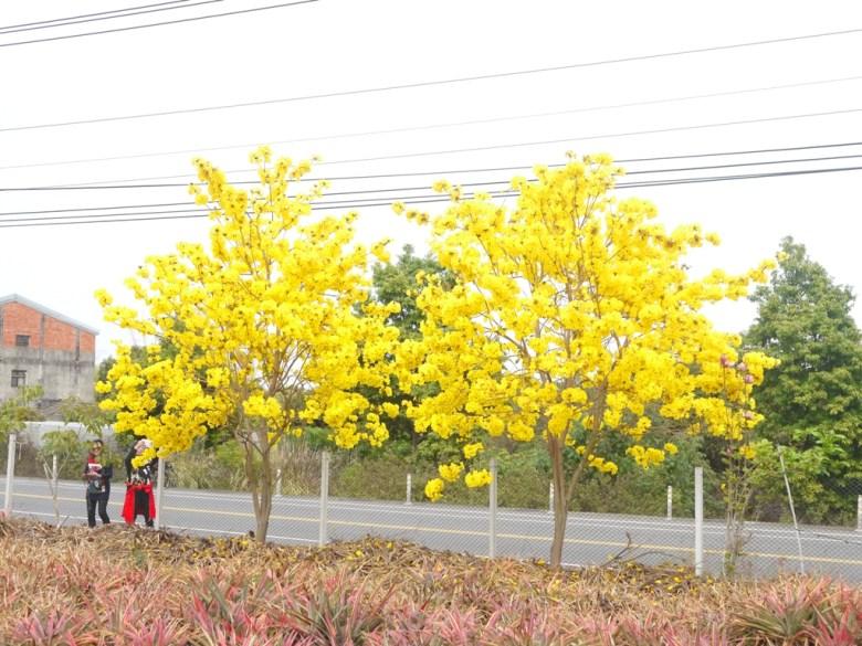 欣賞與拍攝黃金風鈴木的臺灣旅人 | 金黃美麗 | 139縣道 | 芬園 | 彰化 | RoundtripJp