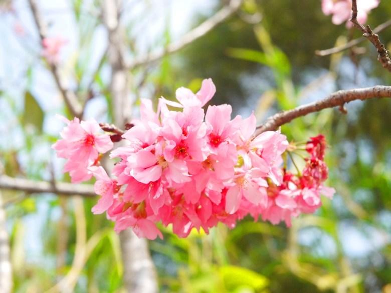 盛開飽滿的富士櫻 | 絕美櫻花 | 日本味 | 芬園鄉139縣道 | Fenyuan | Changhua | 巡日旅行攝
