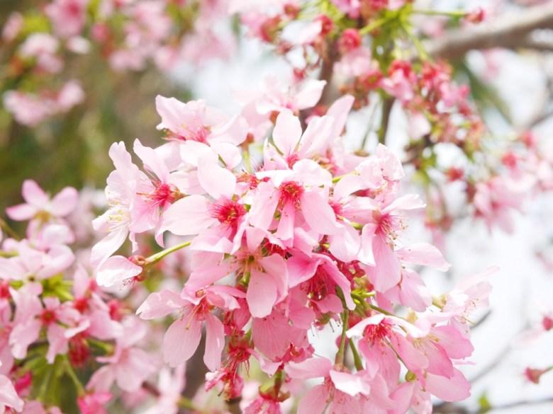 滿開的富士櫻 | 日本風情 | 日本味 | 芬園鄉139縣道 | Fenyuan | Changhua | 巡日旅行攝