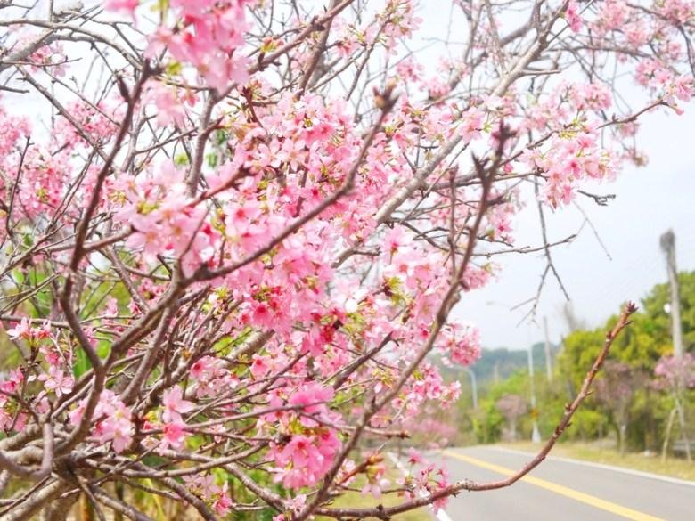 139縣道上的浪漫 | 絕美富士櫻 | 盛開 | 芬園鄉139縣道 | ふんえん | ジャンホワ | RoundtripJp