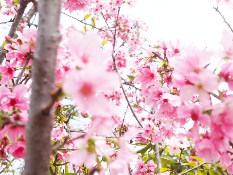盛開的富士櫻 | 日本味 | Sakura | さくら | サクラ | 芬園鄉139縣道 | Fenyuan | Changhua | 巡日旅行攝