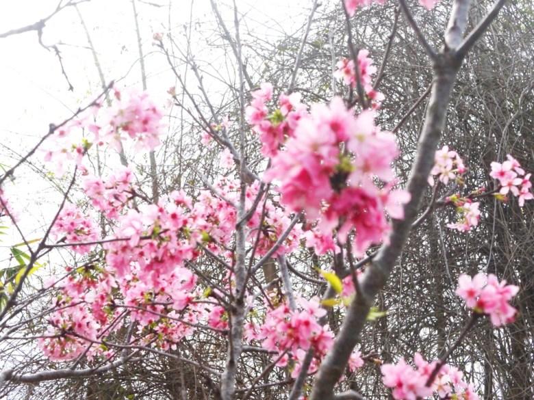粉紅縣道 | 浪漫139縣道 | 富士櫻 | Sakura | さくら | サクラ | 芬園鄉139縣道 | Fenyuan | Changhua | 巡日旅行攝