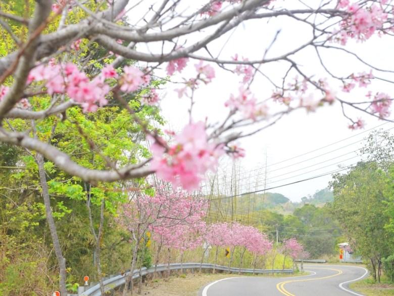 絕美的櫻花大道 | 富士櫻 | Sakura | さくら | サクラ | 芬園鄉139縣道 | Fenyuan | Changhua | 巡日旅行攝
