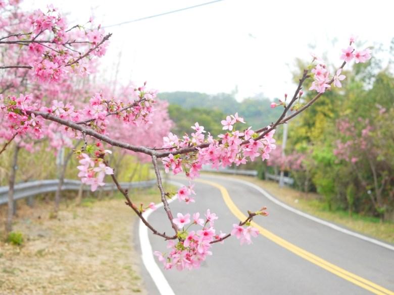 盛開的櫻花大道 | 富士櫻 | Sakura | さくら | サクラ | 芬園鄉139縣道 | Fenyuan | Changhua | RoundtripJp
