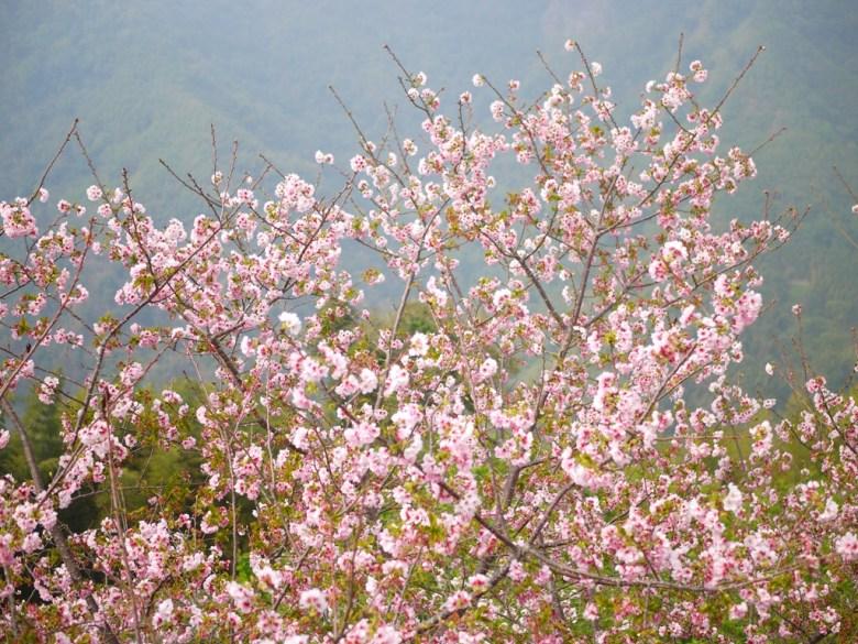 盛開的吉野櫻 | 日本味 | 粉嫩粉紅 | 茶鄉 | 軟鞍八卦茶園 | ジューシャン | Zhushan | Nantou | Wafu Taiwan | RoundtripJp
