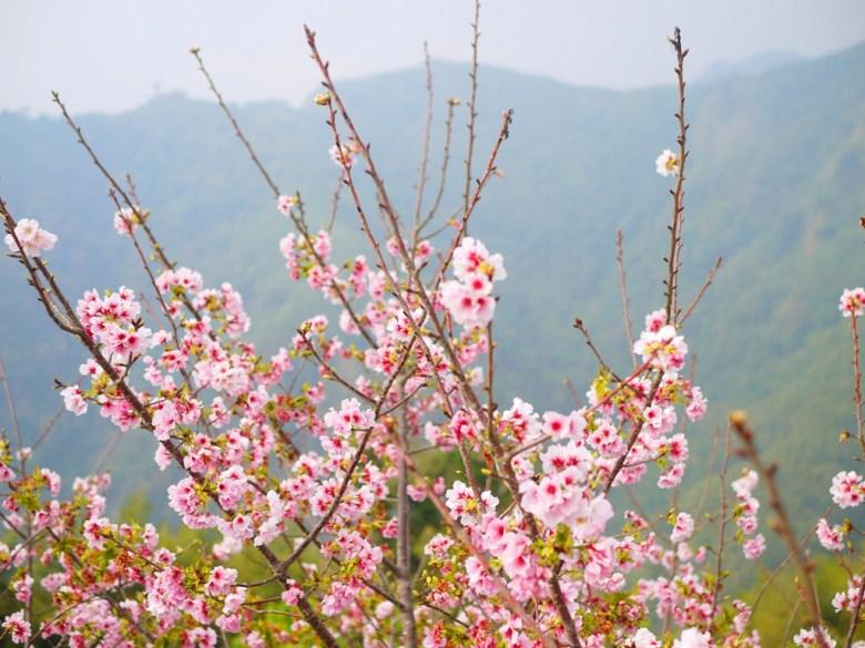 海拔1,300公尺之上 | 絕美吉野櫻 | 高山茶園 | 軟鞍八卦茶園 | ジューシャン | Zhushan | Nantou | RoundtripJp