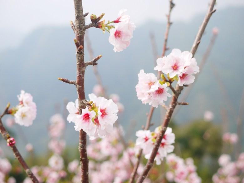 吉野櫻 | 純潔白色 | 日本風情 | Sakura | 南投八卦茶園 | 竹山 | 南投 | 巡日旅行攝