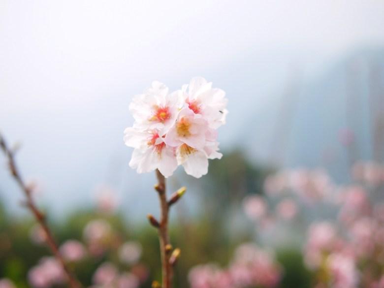 粉嫩潔白 | 白裡透紅 | 絕美吉野櫻 | 高山 | 雲霧繚繞 | 南投八卦茶園 | 竹山 | 南投 | 巡日旅行攝