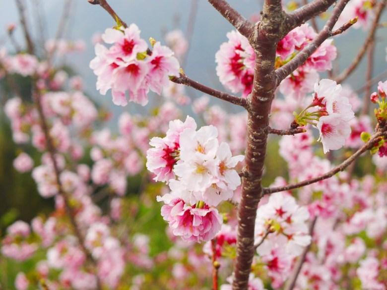 純白粉紅吉野櫻 | Sakura | さくら | サクラ | 南投八卦茶園 | 竹山 | 南投 | 巡日旅行攝