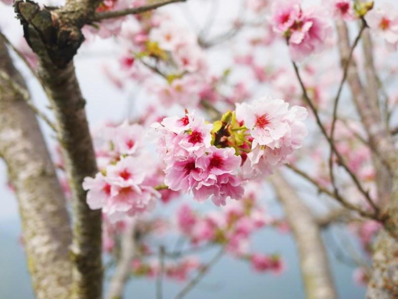 白裡透紅 | 嬌豔欲滴 | 吉野櫻 | 高山櫻花 | 南投八卦茶園 | 竹山 | 南投 | 巡日旅行攝