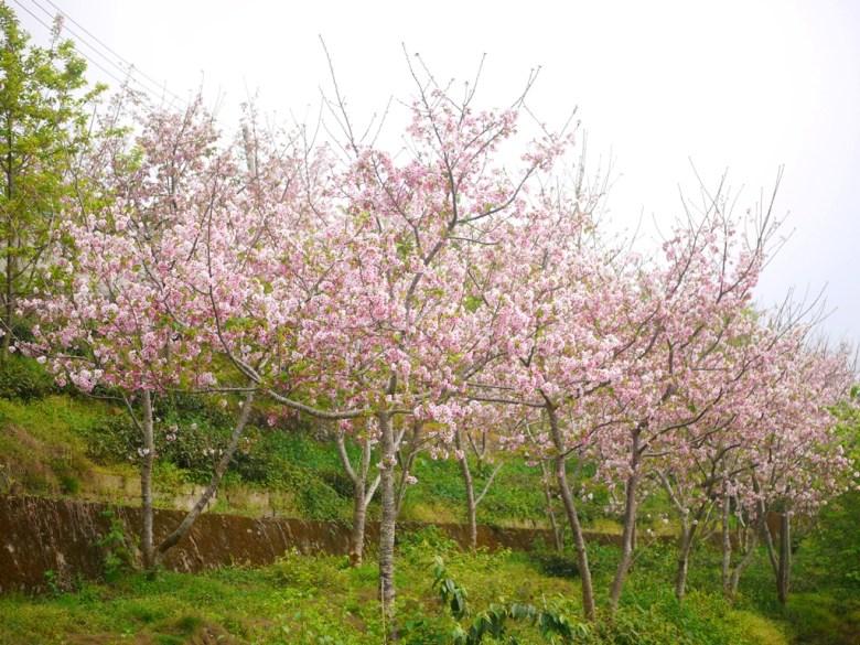 櫻花並木 | 茶園之上 | 美麗的吉野櫻 | ジューシャン | Zhushan | Nantou | RoundtripJp