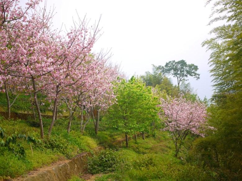 吉野櫻與青青綠樹 | 高山雲霧 | 南投八卦茶園 | 竹山 | 南投 | 巡日旅行攝