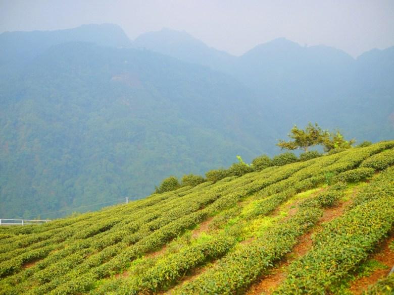 整齊劃一 | 一層一層堆疊 | 茶樹 | 高山茶園 | 南投八卦茶園 | 竹山 | 南投 | 巡日旅行攝