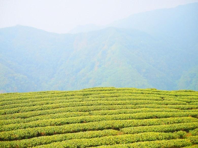 一抹新綠 | 高山茶園 | 整齊排列 | 高山雲霧 | 南投茶鄉 | Zhushan | Nantou | RoundtripJp